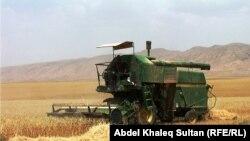 Пшеничное поле. Иллюстративное фото.