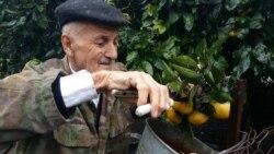 Heybət Hüseynov: 'Bir ağacdan 50-60 kiloqram narıngi yığmışdım. Limonları isə qışda bükürəm. Bir azdan bükəcəyəm'