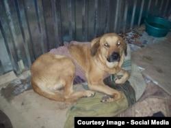 Умирающая собака в Астрахани после стерилизации по государственной программе