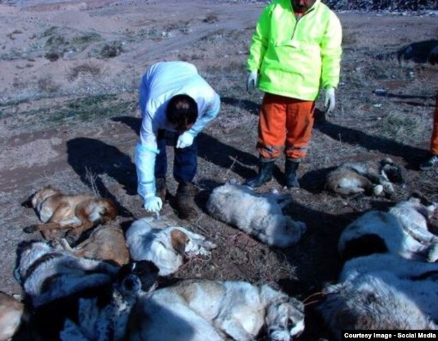 A photo shared on social media of the apparent application of lethal injections to stray dogs.