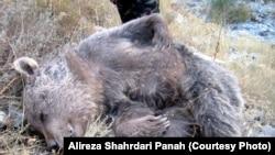 کشتن یک خرس قهوهای با ماده شیمیایی