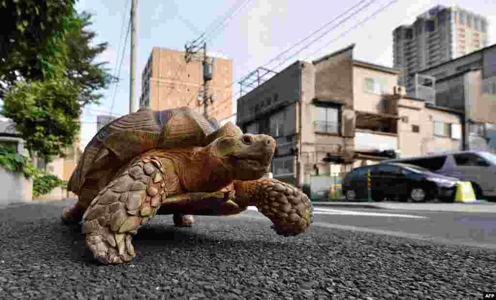 Бон-чан - самец африканской черепахи, который живет в Токио. Бон-чану 19 лет и он весит почти 70 килограмм