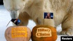 Белый медведь Феликс предсказывает победу Трампа в зоопарке Роев Ручей (Красноярск)