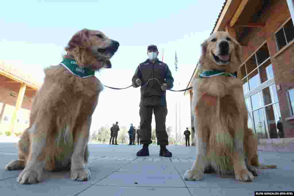 Kifinomult szaglásuknak köszönhetően világszerte vetnek be kutyákat drogok, robbanószerek, pénz és legújabban a koronavírus felderítésére. Ezek a chilei kutyák is képesek szag alapján különbséget tenni az egészséges és a fertőzött emberek között.