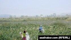 Хлопковое поле в Туркменистане.