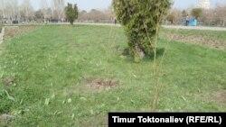 Жапония Кыргызстанга сакуранын 140 көчөтүн белек кылды.