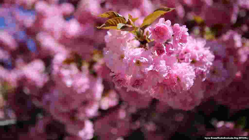 Сакура цветет без запаха. Деревья не дают плодов, но вызывают радость и удовольствие.