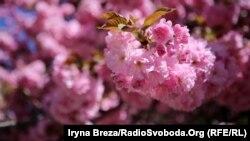 Японська вишня – сакура, цвіте в Ужгороді. Закарпаття