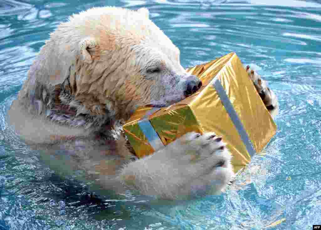 La o grădină zoologică din Franța, angajații i-au adus ursului alb o cutie frumos ambalată cu mâncare.