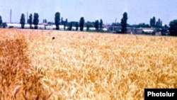 Armenia -- A wheat field, undated.