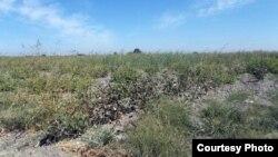 Заросшее сорняками поле фермерского хозяйства «Атаджанов» в Куйичирчикском районе Ташкентской области. Фото Правозащитного альянса Узбекистана. 13 сентября 2015 года.
