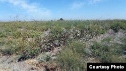 Хлопковое поле в Куйичирчикском районе Ташкентской области. Фото предоставлено Правозащитным альянсом Узбекистана. 13 сентября 2015 года.