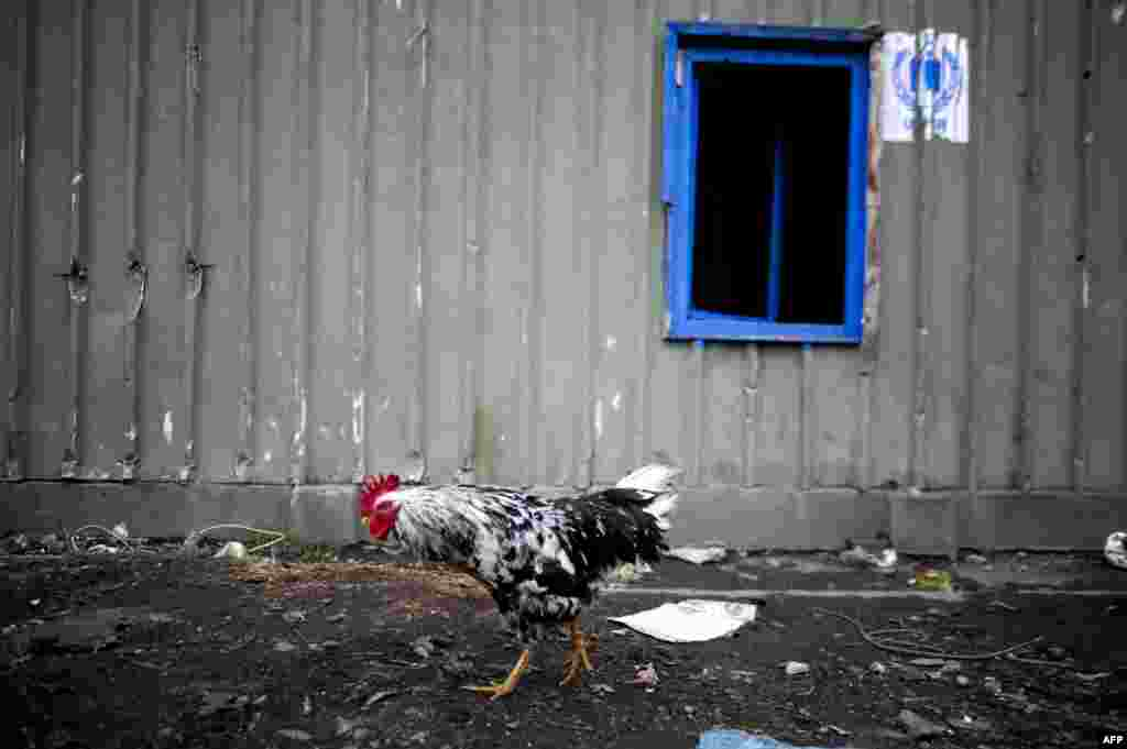 A rooster walks in a Roma camp in the Serb-majority town of Leposavic, Kosovo, on December 16. (AFP/Armend Nimani)