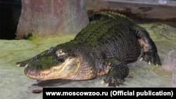 Крокодилът Сатурн
