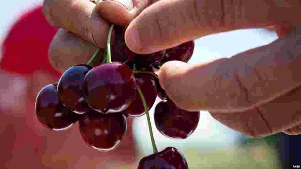 Черешня – дуже корисна для організму ягода. Вона містить мелатонін, що регулює сон і біоритми. Також черешня підтримує зір і робить його більш гострим. Крім того, допомагає організму очиститися від шлаків і токсинів