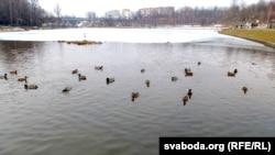 У забруджваньні Сьвятога возера вінавацяць чаек. На Дубравенцы нямала качак