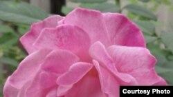 "Rosa × hybrida ""La France"" розасы. Д-р Бендхманинин фотосу."