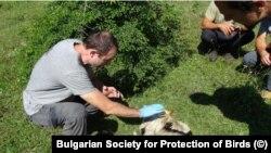 Екип на Българското дружество за защита на птиците изследва един от загиналите край Маджарово египетски лешояди