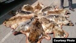 فروش پوست سگ و گرگ به اسم پوست پلنگ و ببر در جمعه بازار