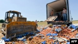 Персик җимешләре трактор белән таптатыла