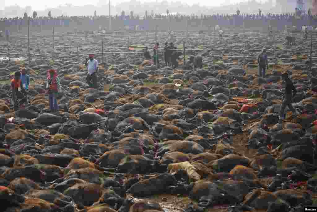 جشنواره قربانی در «نپال»؛ آیین قربانی کردن، هر ۵ سال یکبار در نپال برگزار میشود و در آن هزاران حیوان کشته میشوند. در سال ۲۰۰۹ بیش از ۲۵۰ هزار راس گاو، گوسفند، مرغ، موش، کبوتر و خوک در این آیین قربانی شدند.