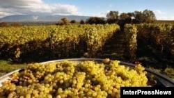 В Национальном агентстве вина сообщили, что, несмотря на жестокую засуху, удалось сохранить объемы урожая на уровне прошлого года благодаря разбивке новых виноградников – их площадь увеличилась на три тысячи гектаров