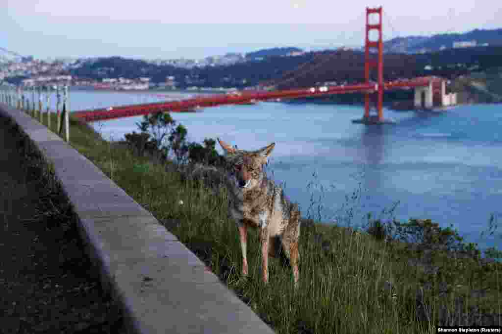 A coyote in front of the Golden Gate Bridge in San Francisco on April 7.