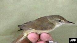 A large-billed reed-warbler