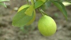 Лимон жыттанган мектеп күнөсканасы
