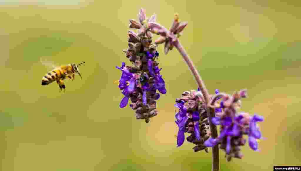 Май и начало лета в Крыму самая «гарячая» пора для этих трудолюбивых насекомых. Ведь в разгаре цветение основных медоносных садовых, луговых и полевых растений. Специалисты утверждают, что пчелы летают за взятком, то есть пыльцой и нектаром, обычно на расстояние 2–3 километров от улья, а в отдельных случаях до 7–8 и даже 14 километров