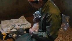 Япония зоопаркида тўртта оқ йўлбарс туғилди