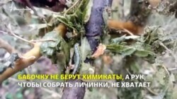 Леса Кубани и Адыгеи уничтожает бабочка