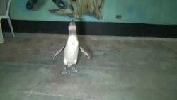 Гулявшего по улицам отважного пингвина арестовала полиция Перу