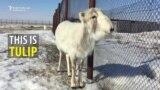 Saving Kazakhstan's Saiga Antelope