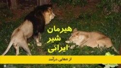 هیرمان، شیر ایرانی از تنهایی درآمد