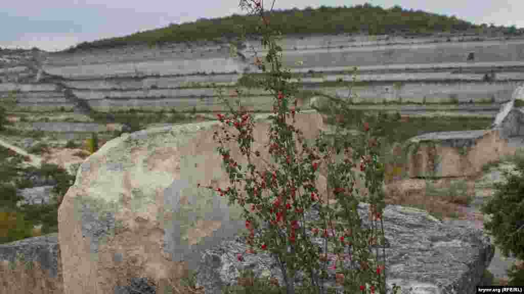 Неопознанный куст с красными ягодами ярко выделяется на фоне белых скал
