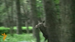 Moose Run Loose In Downtown Minsk
