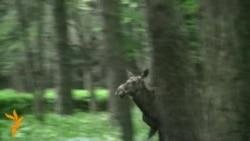 Паляваньне на ласёў у парку Чалюскінцаў у Менску