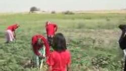 2008 йил - ўзбек болалари яна пахтазорда