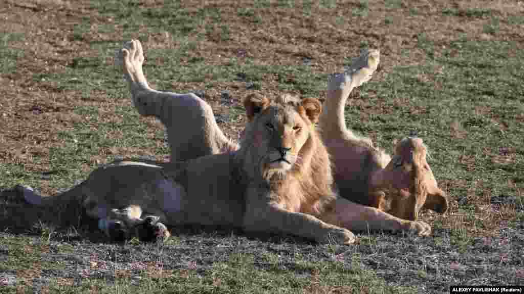 Власник парку левів Олег Зубков не уточнив, від якої саме пари левів народилися малюки