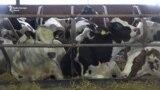 Кризис молочного бизнеса