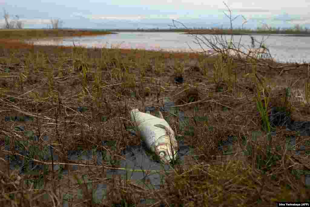 A dead fish washes up on the banks of the Ambarnaya River outside Norilsk following the May fuel spill. Norilsk Nickel, the world's largest producer of nickel and palladium, is controlled by Russia's richest man, Vladimir Potanin, whose fortune is estimated by Forbes at $23.5 billion.