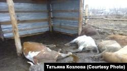 Погибшие в результате паводка животные, Алтайский край