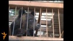 Ведмедів евакуювали з допомогою вертольота через повінь на Далекому Сході Росії