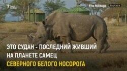 В Кении умер последний самец северного белого носорога (видео)