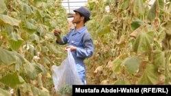 في احدة مزارع الخضار بكربلاء (الارشيف)