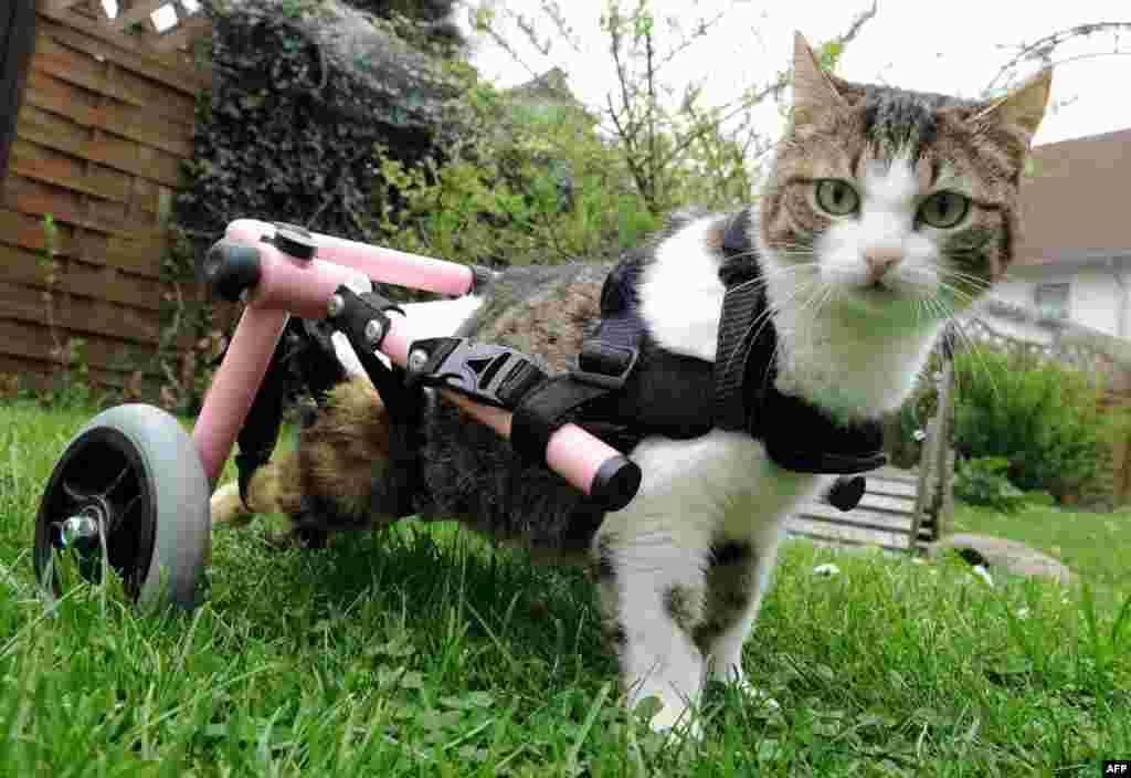 Brigitta, a handicapped cat, uses her walking frame in Celle in central Germany. Brigitta was paralyzed after being wounded by an air rifle. A supporter of an aid organization for stray animals was so touched by Brigitta's fate that she decided to bring the animal from Bulgaria to Celle and to have the walker built. (AFP/Holger Hollemann)