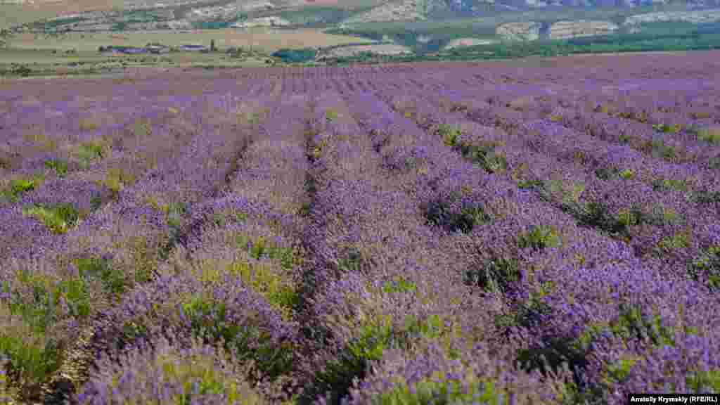 Лавандовые поля за Бахчисараем часто сравнивают с всемирно известным французским Провансом