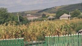 Porumb uscat de secetă în grădile sătenilor