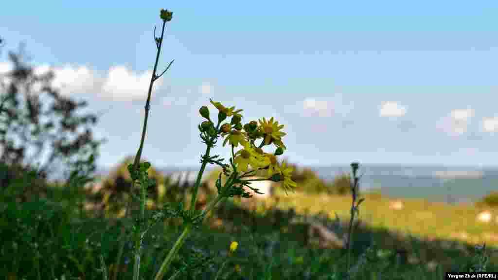 Тягнуться до сонця жовті квіти крестовника